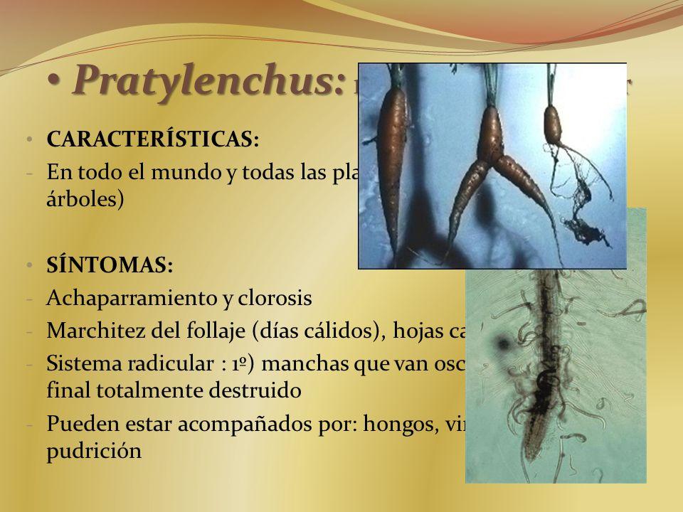 Pratylenchus: nemátodo lesionador