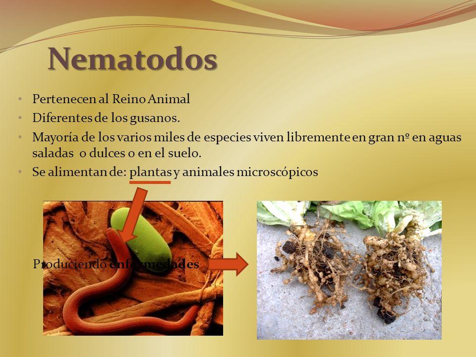 Nematodos Pertenecen al Reino Animal Diferentes de los gusanos.