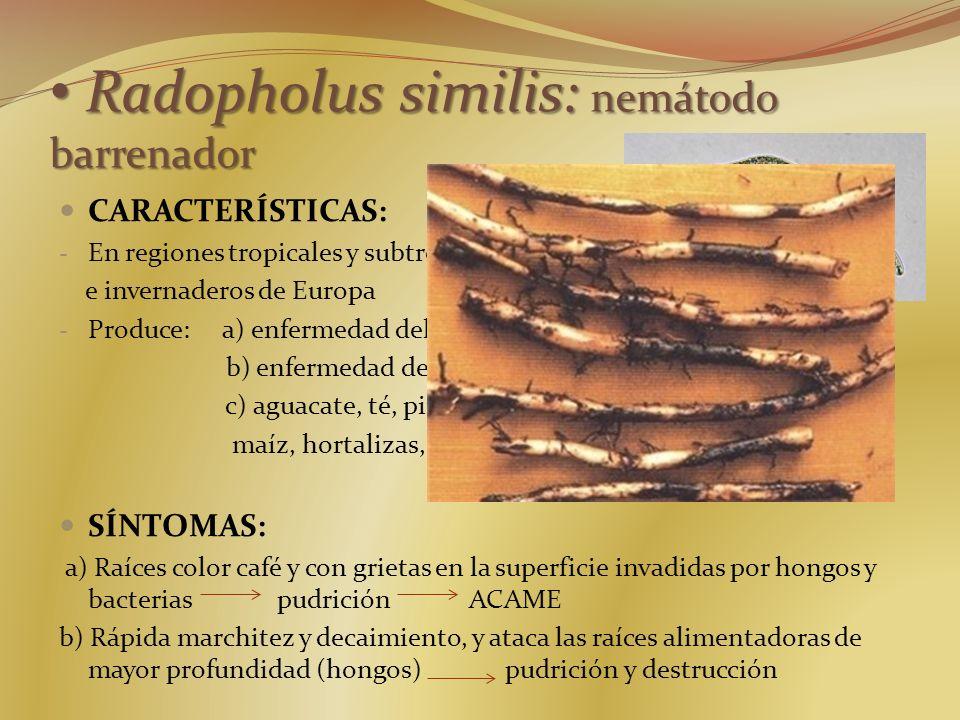 Radopholus similis: nemátodo barrenador