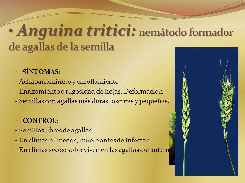 Anguina tritici: nemátodo formador de agallas de la semilla