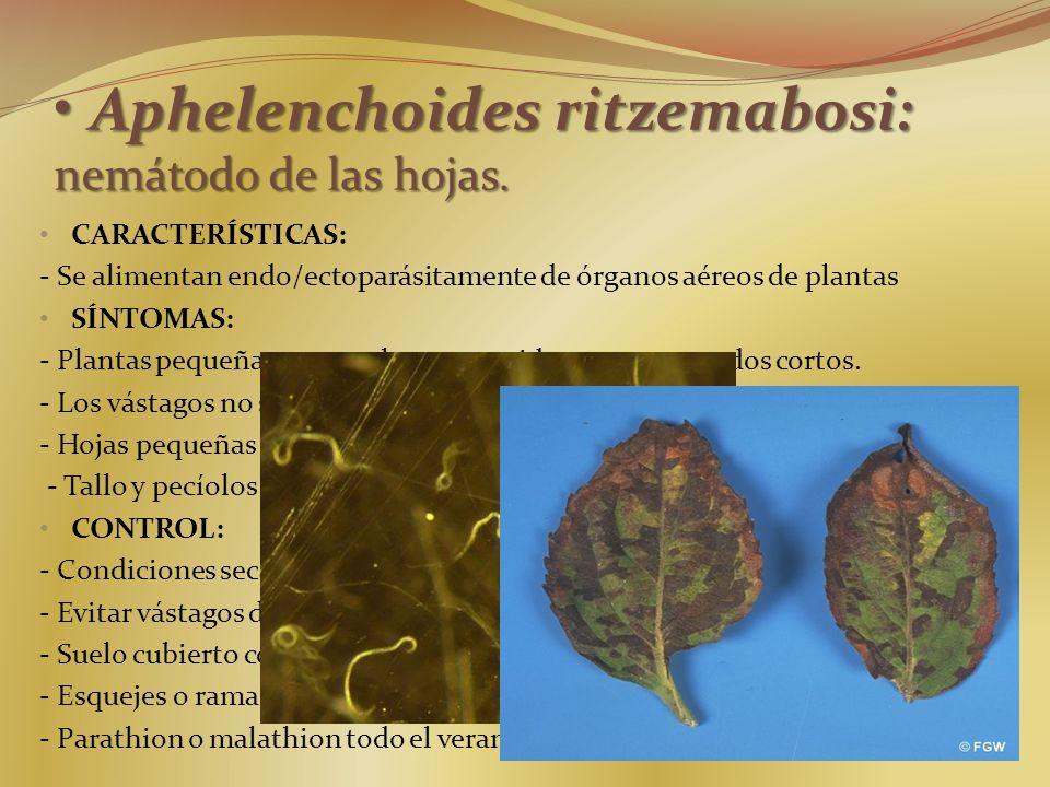 Aphelenchoides ritzemabosi: nemátodo de las hojas.