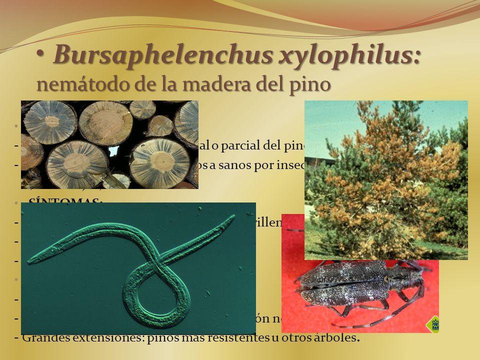 Bursaphelenchus xylophilus: nemátodo de la madera del pino