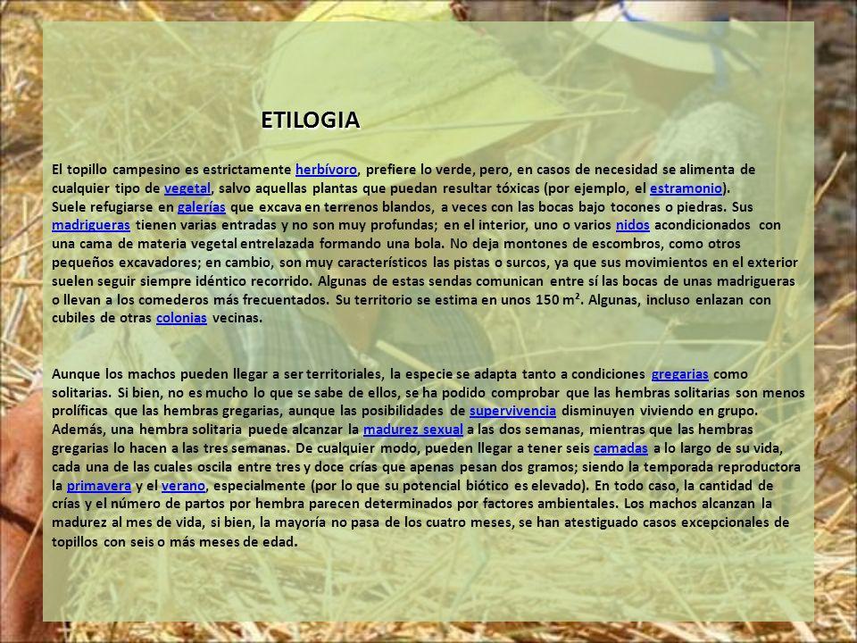ETILOGIA El topillo campesino es estrictamente herbívoro, prefiere lo verde, pero, en casos de necesidad se alimenta de cualquier tipo de vegetal, salvo aquellas plantas que puedan resultar tóxicas (por ejemplo, el estramonio).