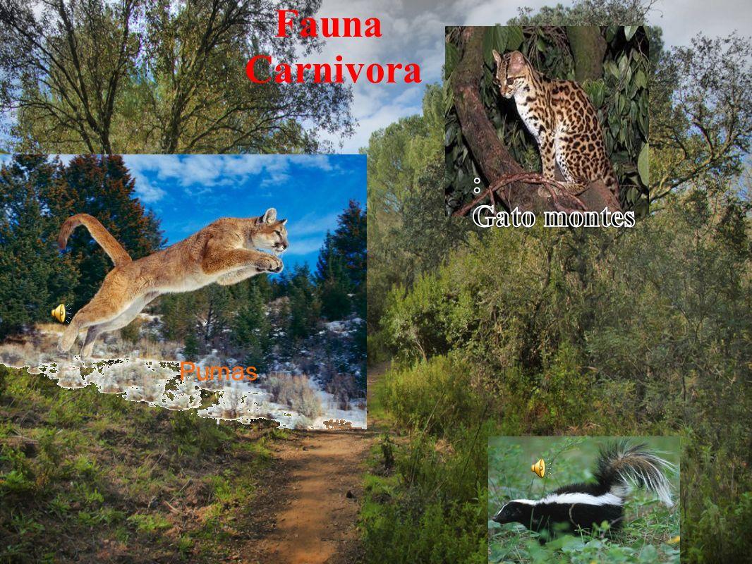 Fauna Carnivora : Gato montes Pumas