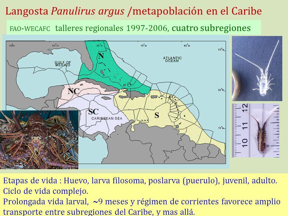 Langosta Panulirus argus /metapoblación en el Caribe