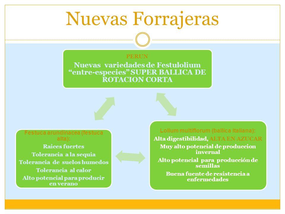 Nuevas Forrajeras PERUN. Nuevas variedades de Festulolium entre-especies SUPER BALLICA DE ROTACION CORTA.