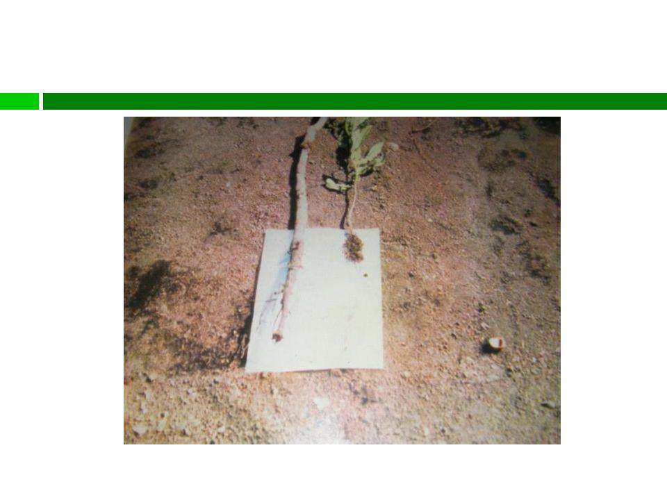 El uso incorrecto de la bolsa de almácigo puede deformar el sistema de raiz.