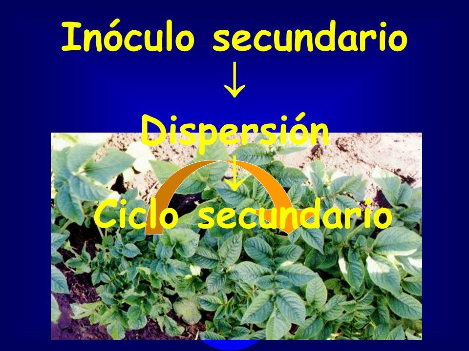 Inóculo secundario  Dispersión  Ciclo secundario
