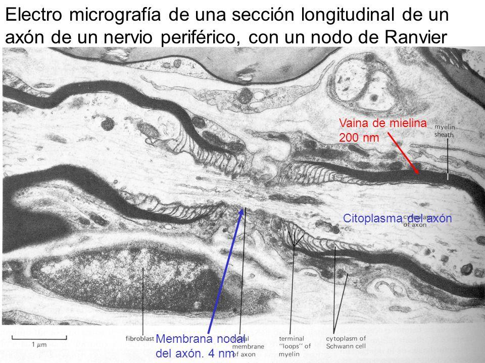 Electro micrografía de una sección longitudinal de un axón de un nervio periférico, con un nodo de Ranvier