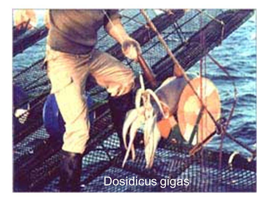 Dosidicus gigas