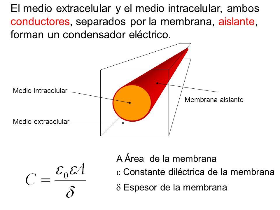 El medio extracelular y el medio intracelular, ambos conductores, separados por la membrana, aislante, forman un condensador eléctrico.