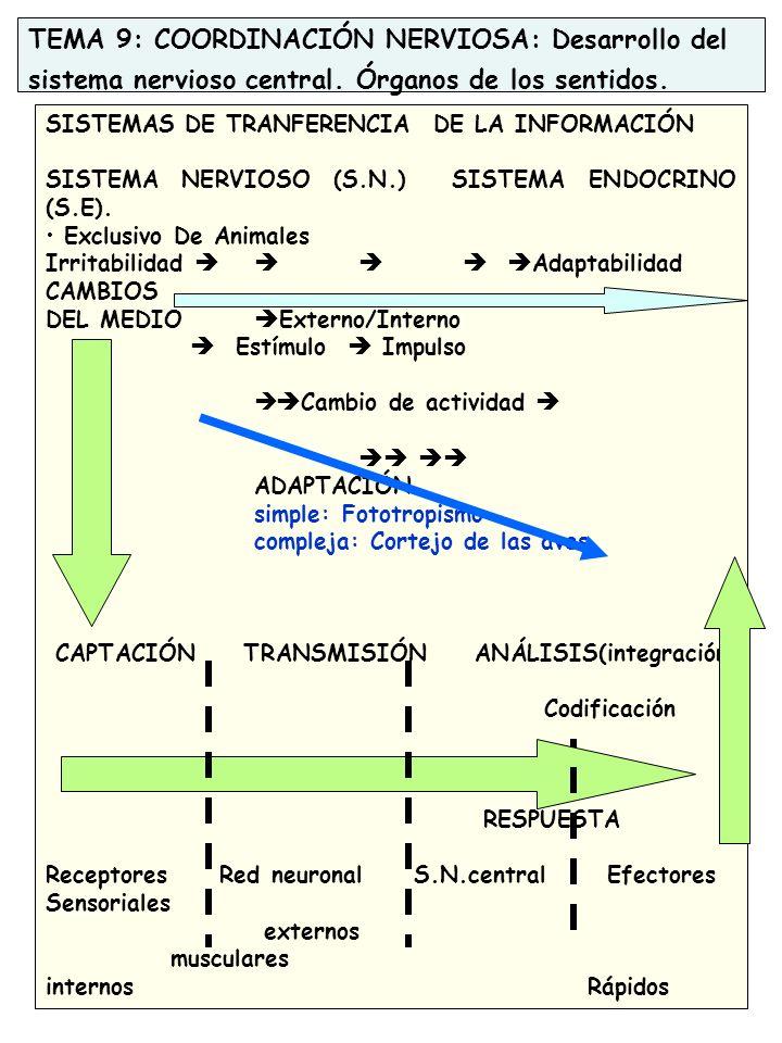 TEMA 9: COORDINACIÓN NERVIOSA: Desarrollo del sistema nervioso central