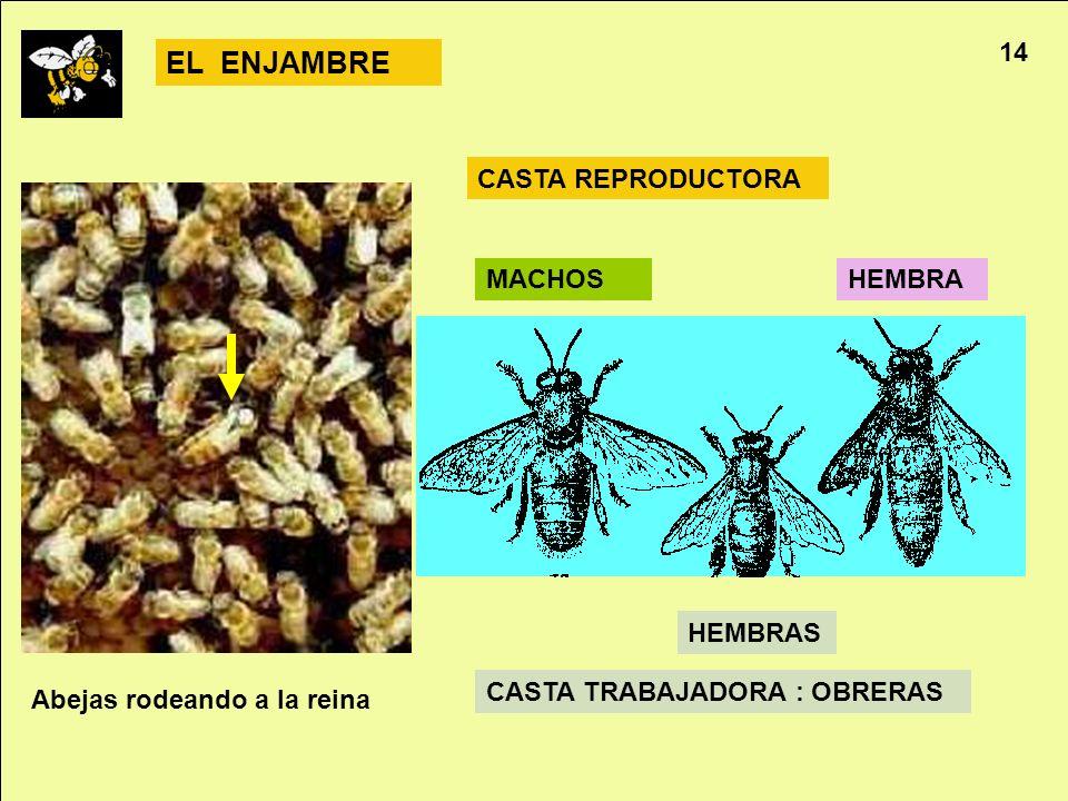 EL ENJAMBRE 14 CASTA REPRODUCTORA MACHOS HEMBRA HEMBRAS