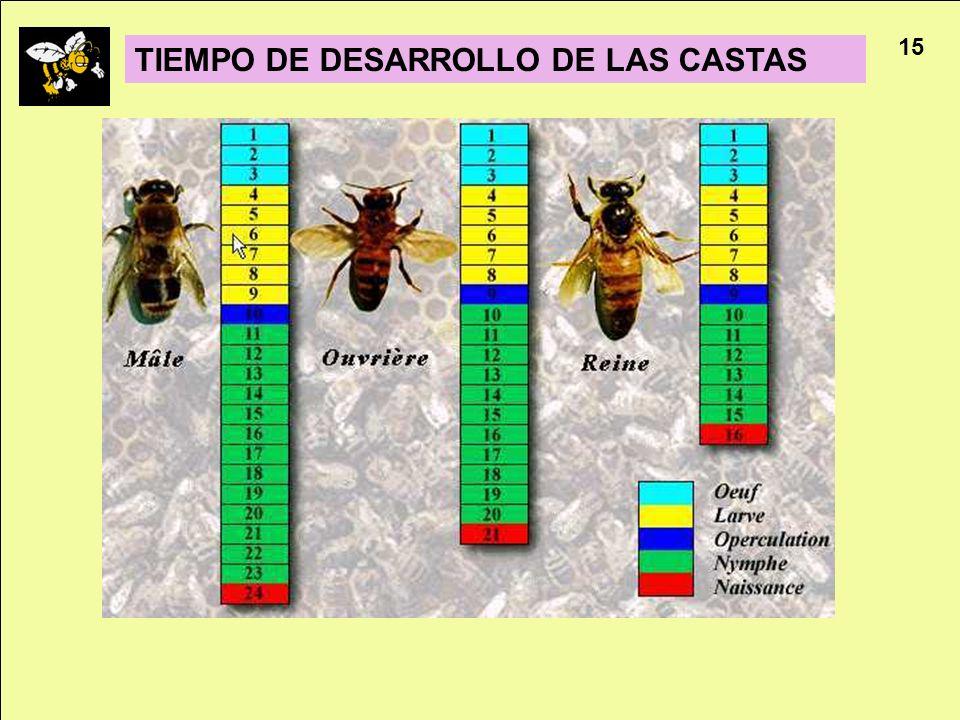 TIEMPO DE DESARROLLO DE LAS CASTAS