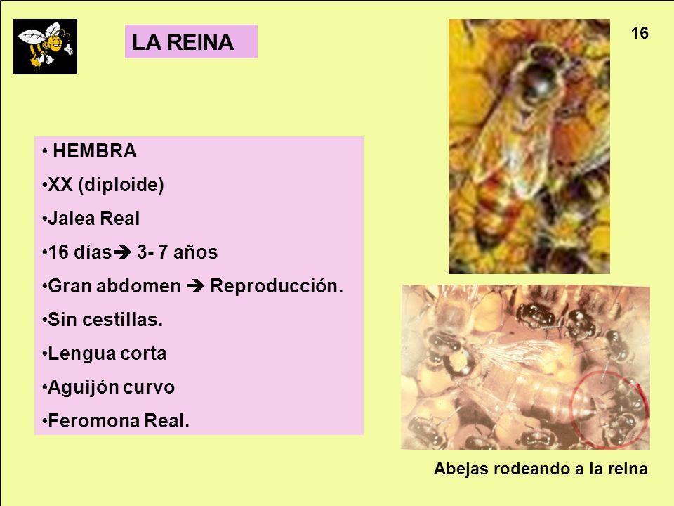 LA REINA HEMBRA XX (diploide) Jalea Real 16 días 3- 7 años