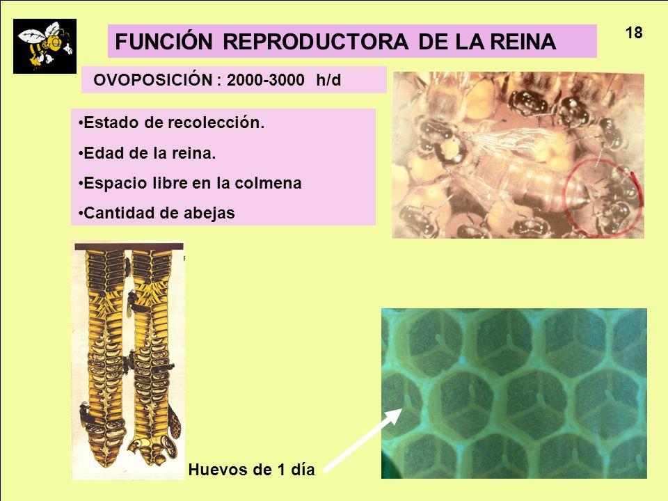 FUNCIÓN REPRODUCTORA DE LA REINA