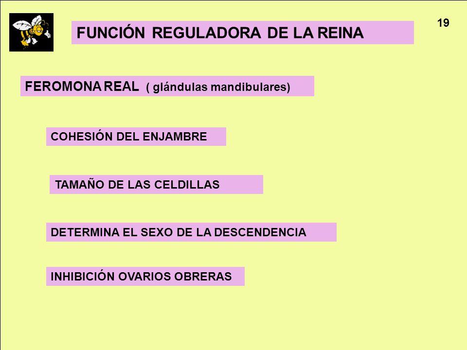 FUNCIÓN REGULADORA DE LA REINA