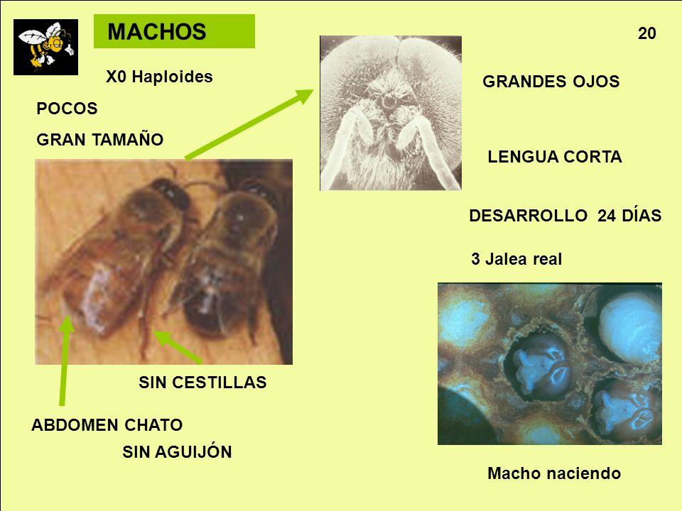 MACHOS 20 X0 Haploides GRANDES OJOS POCOS GRAN TAMAÑO LENGUA CORTA