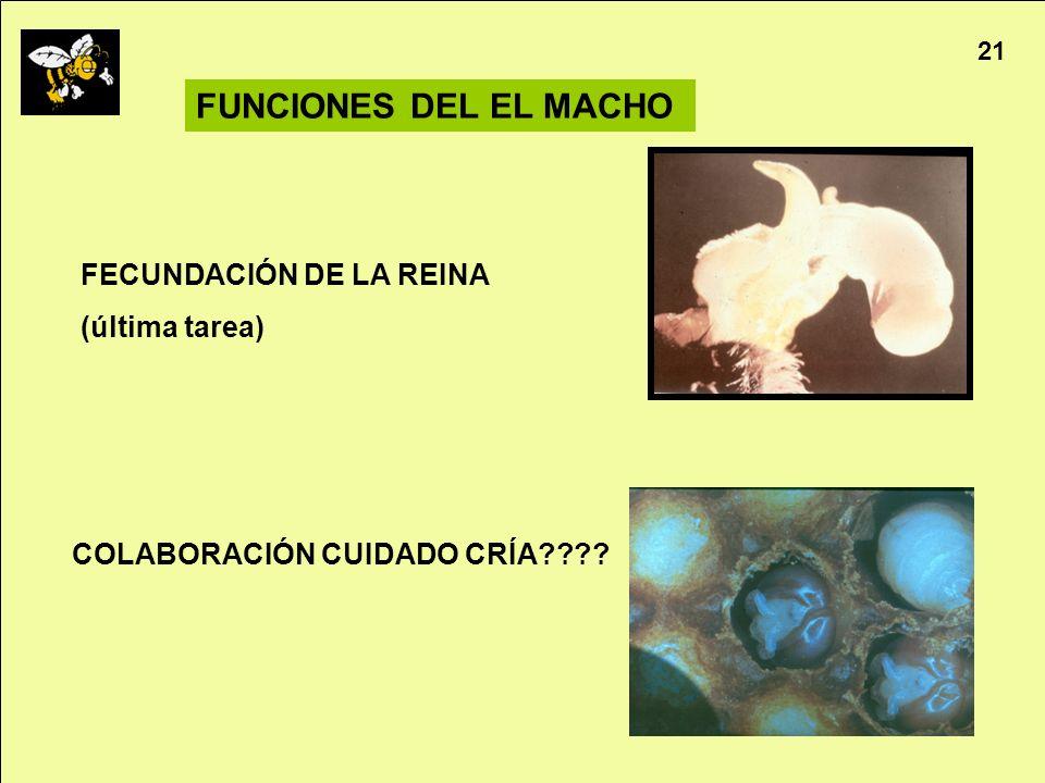 FUNCIONES DEL EL MACHO FECUNDACIÓN DE LA REINA (última tarea)