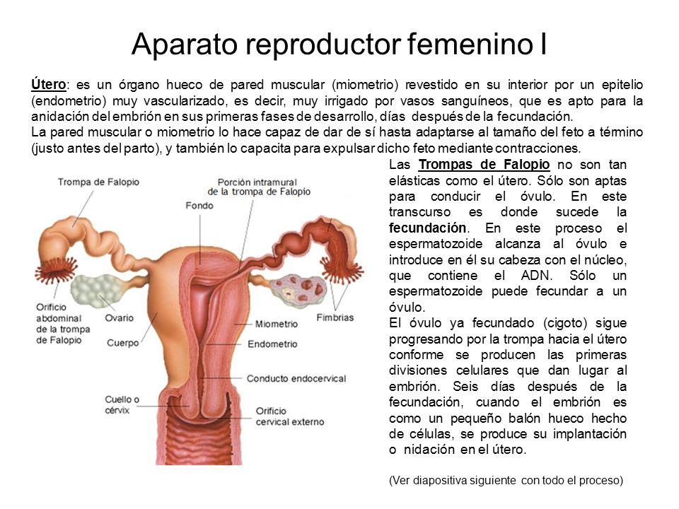 Encantador Hechos Sobre El Sistema Reproductor Masculino Friso ...