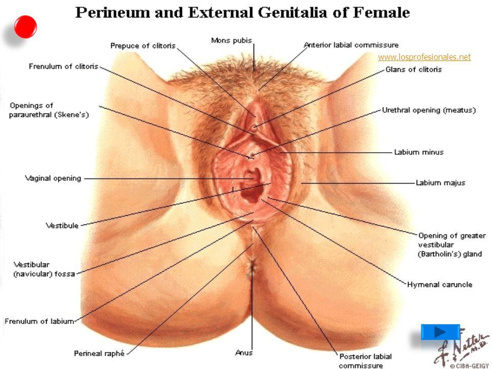 Encantador Anatomía De Los Genitales Ornamento - Anatomía de Las ...