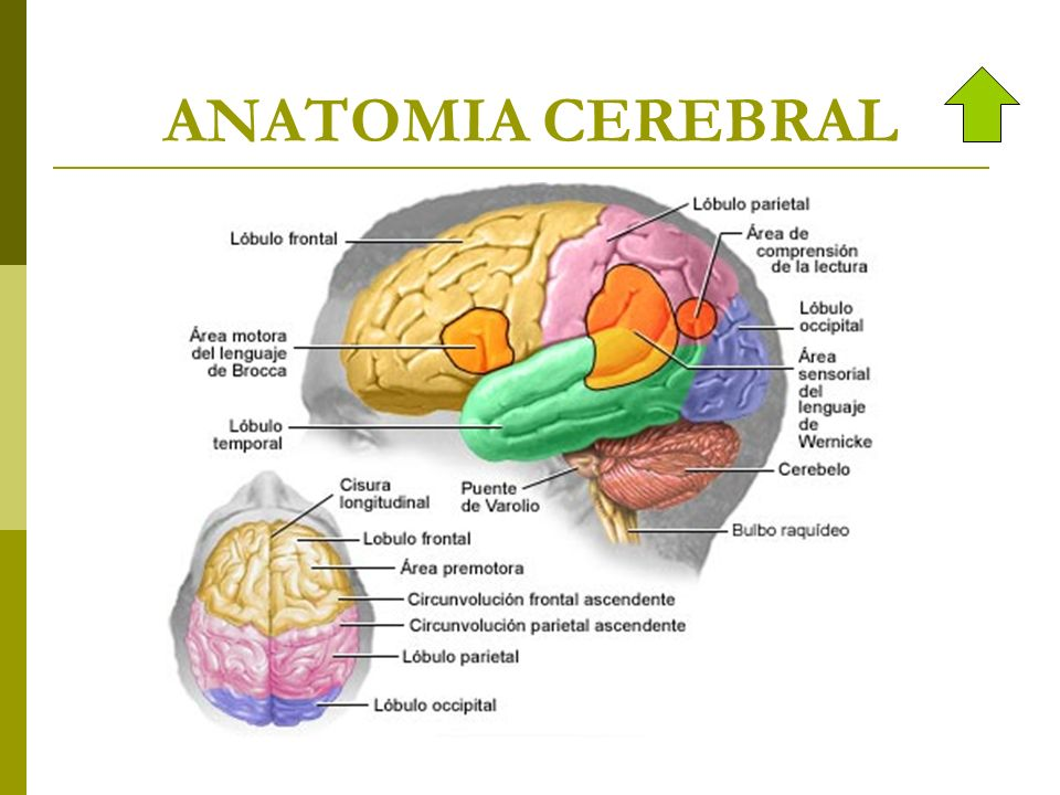 Excelente Anatomía De Accidente Cerebrovascular Molde - Imágenes de ...