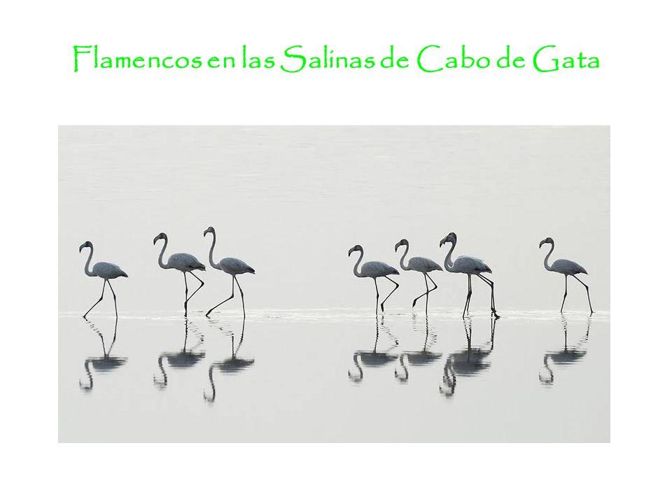 Flamencos en las Salinas de Cabo de Gata