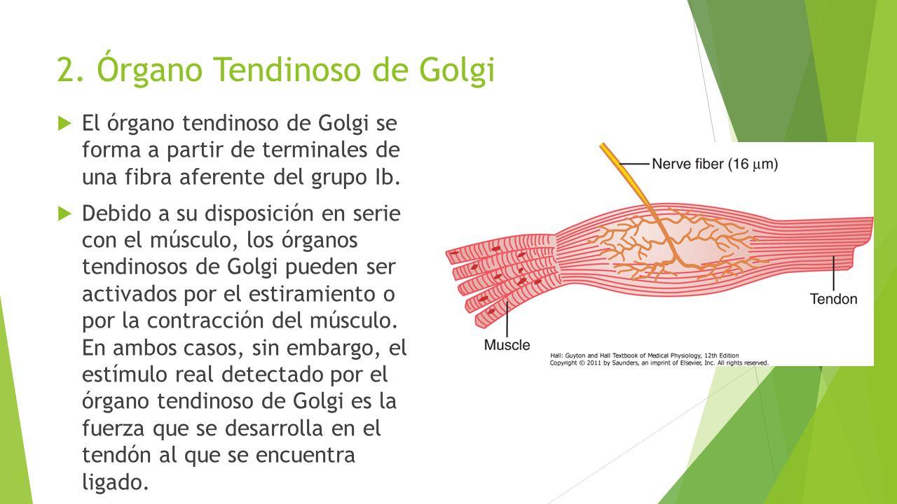Fantástico Golgi órgano Tendinoso De La Anatomía Regalo - Imágenes ...