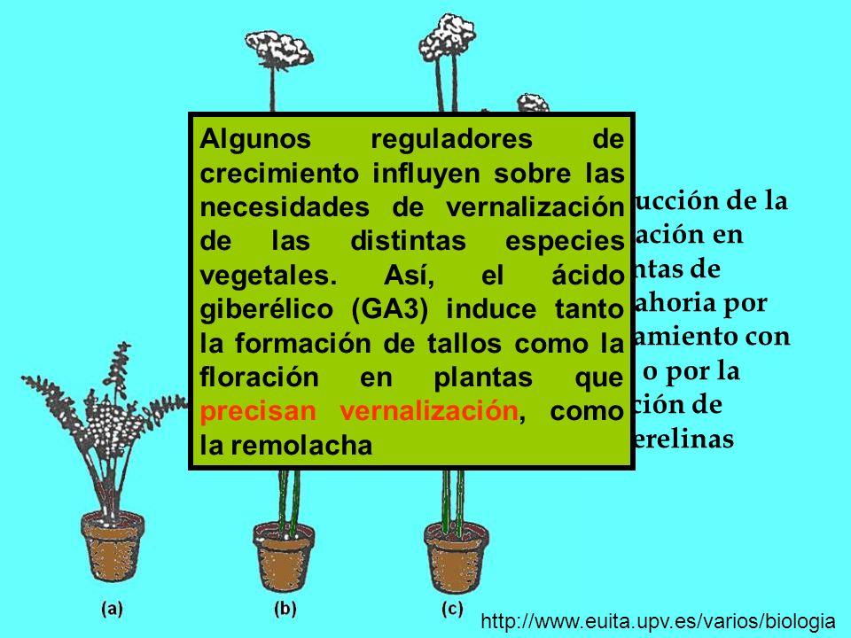 Algunos reguladores de crecimiento influyen sobre las necesidades de vernalización de las distintas especies vegetales. Así, el ácido giberélico (GA3) induce tanto la formación de tallos como la floración en plantas que precisan vernalización, como la remolacha