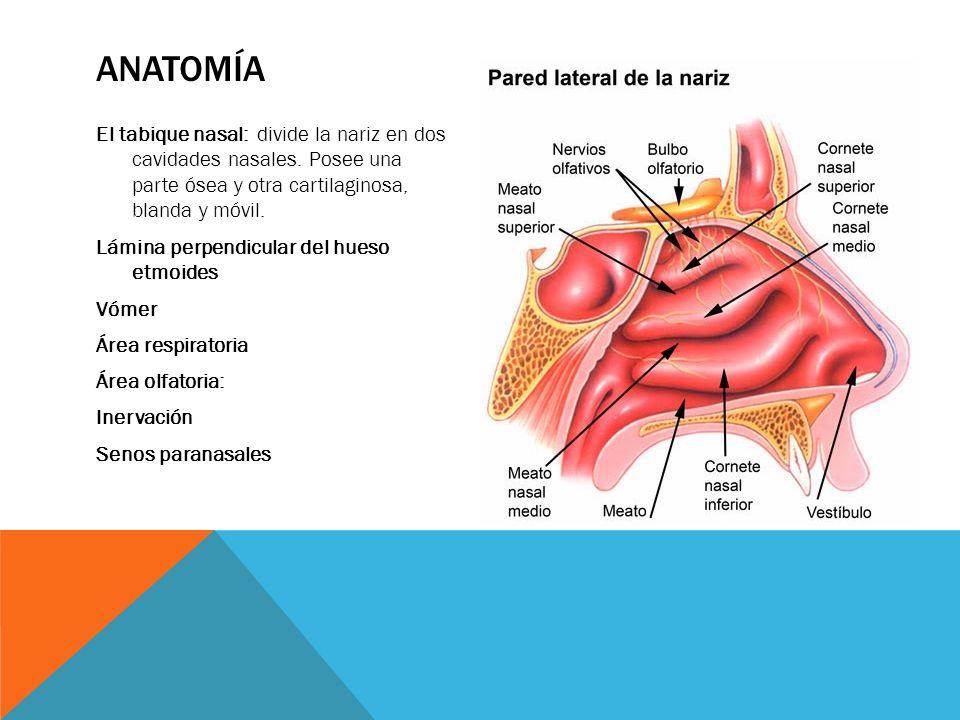 Atractivo Anatomía Cornetes Nasales Regalo - Imágenes de Anatomía ...