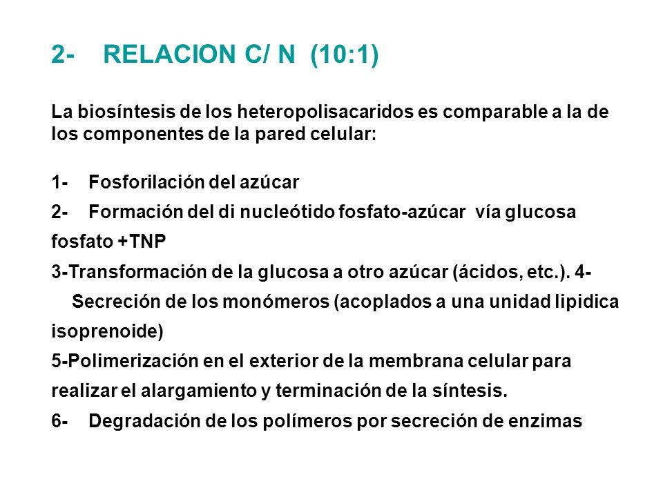2- RELACION C/ N (10:1) La biosíntesis de los heteropolisacaridos es comparable a la de los componentes de la pared celular: