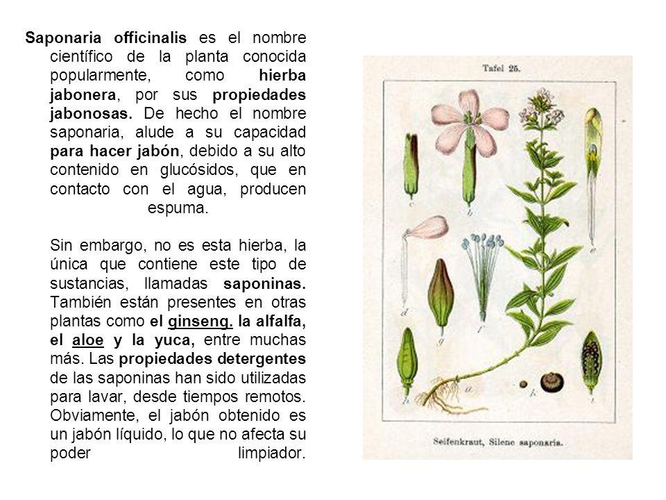 Saponaria officinalis es el nombre científico de la planta conocida popularmente, como hierba jabonera, por sus propiedades jabonosas.