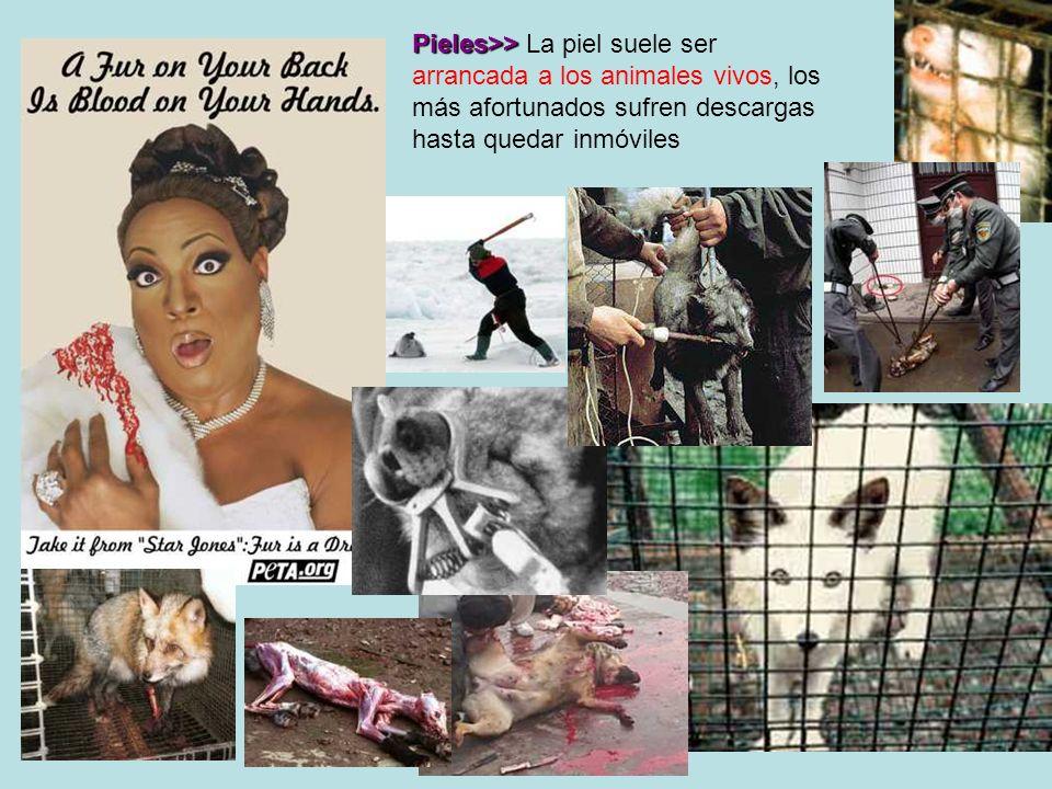 Pieles>> La piel suele ser arrancada a los animales vivos, los más afortunados sufren descargas hasta quedar inmóviles