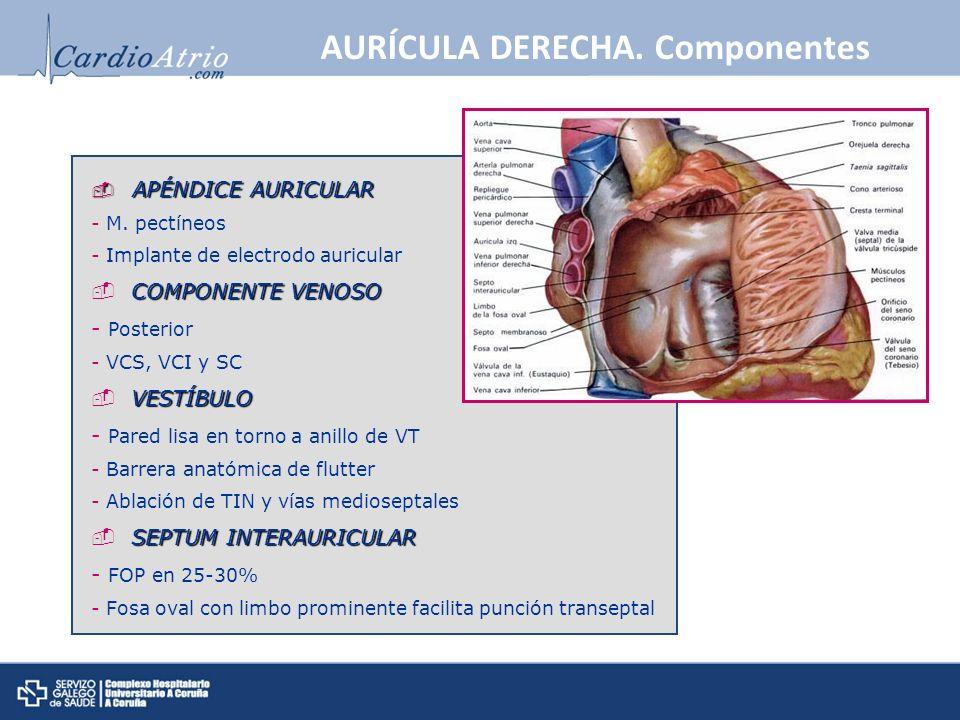 AURÍCULA DERECHA. Componentes