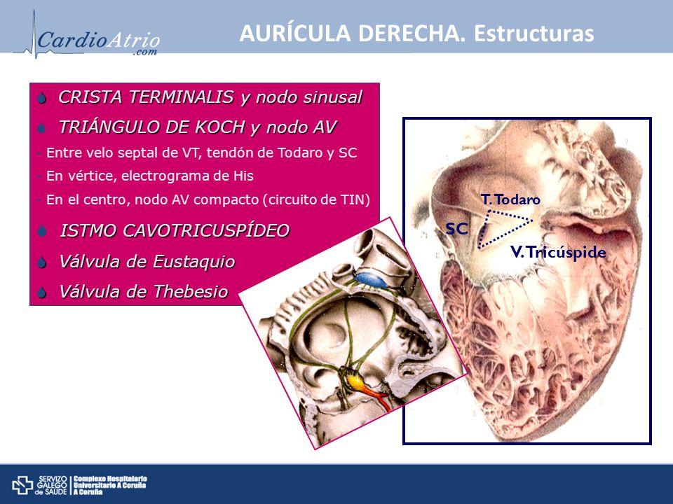 AURÍCULA DERECHA. Estructuras