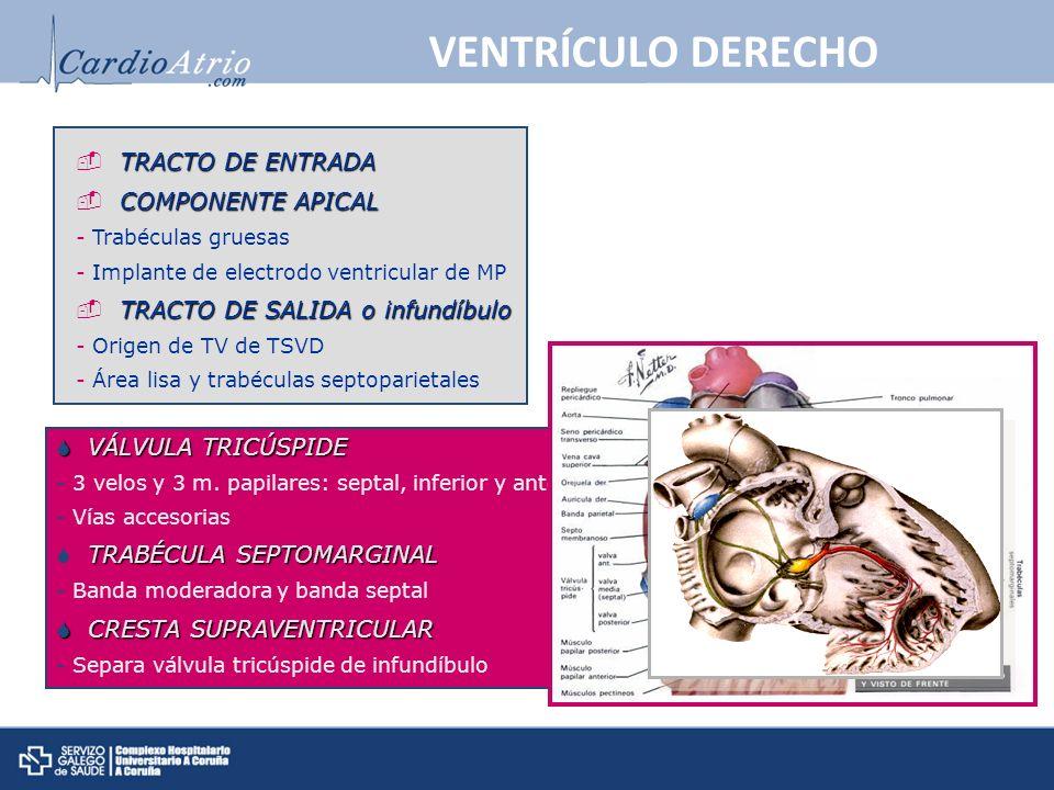 VENTRÍCULO DERECHO TRACTO DE ENTRADA COMPONENTE APICAL