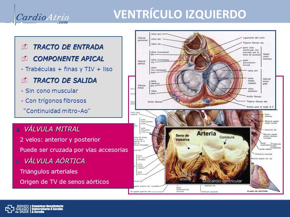 VENTRÍCULO IZQUIERDO TRACTO DE ENTRADA COMPONENTE APICAL