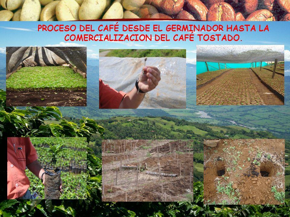 PROCESO DEL CAFÉ DESDE EL GERMINADOR HASTA LA COMERCIALIZACION DEL CAFÉ TOSTADO.