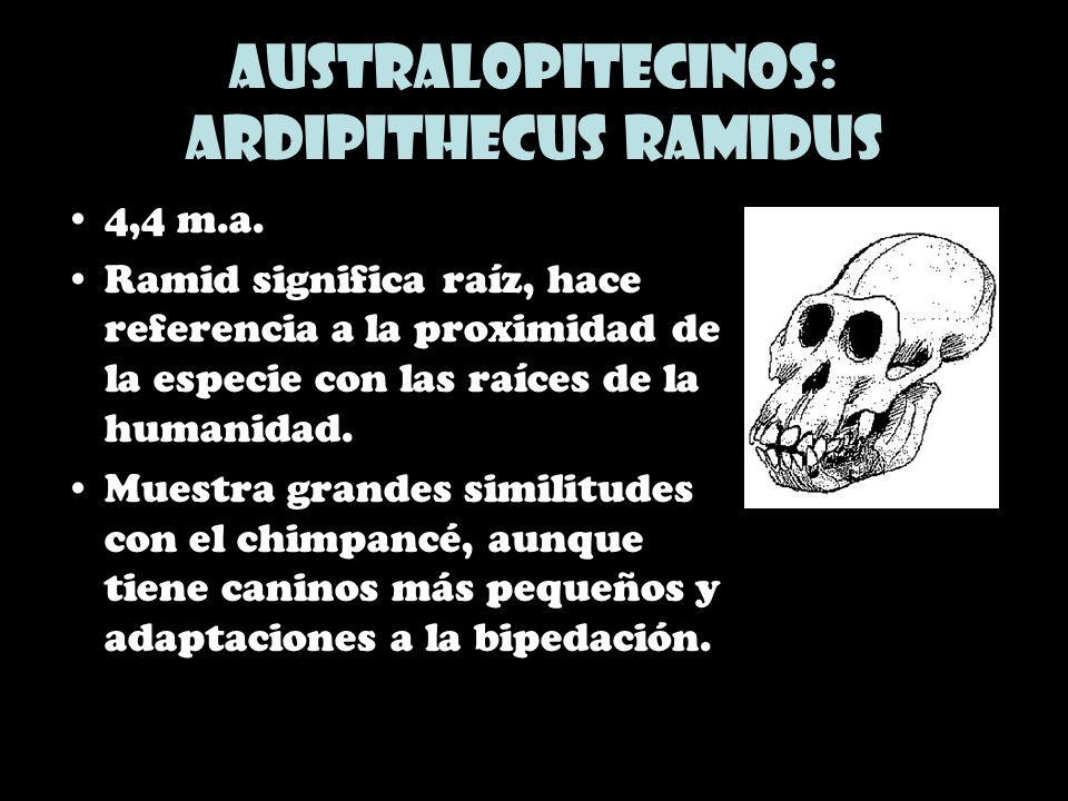 Australopitecinos: Ardipithecus ramidus