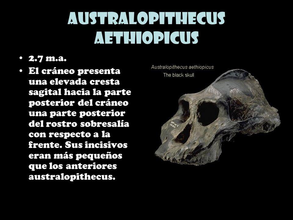 Australopithecus aethiopicus