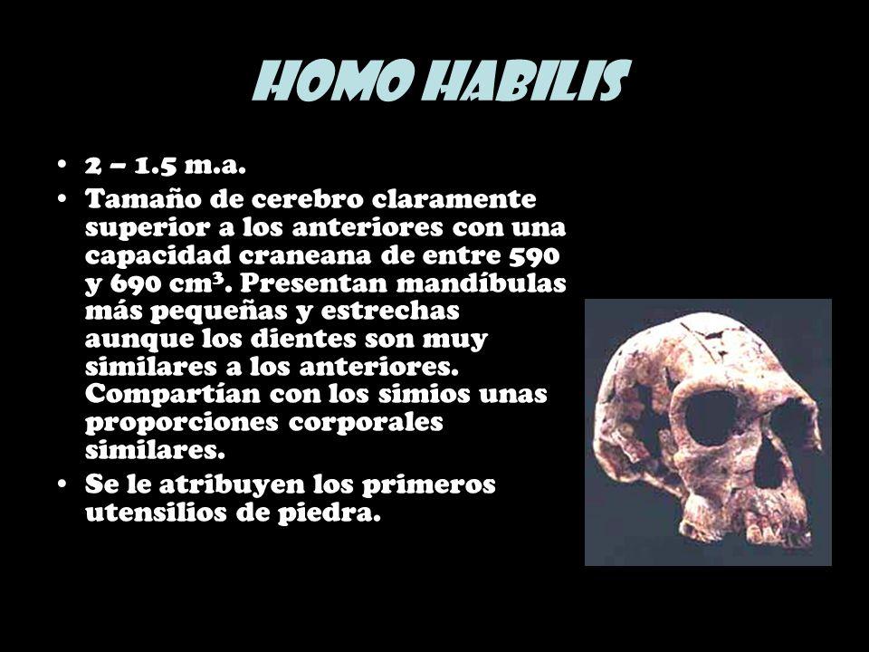Homo habilis2 – 1.5 m.a.