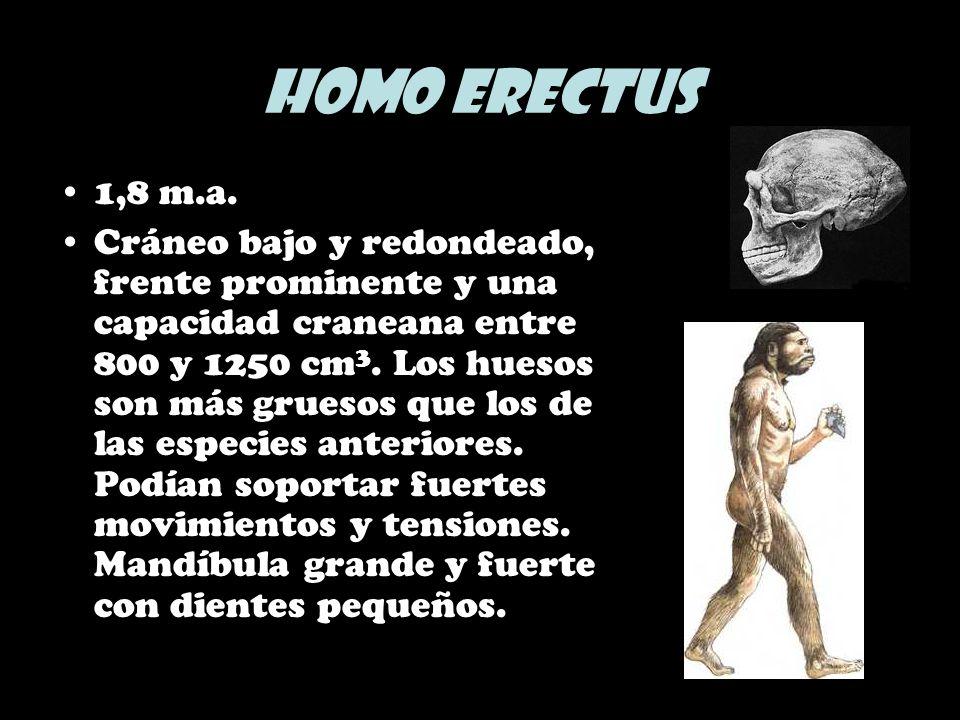 Homo erectus1,8 m.a.