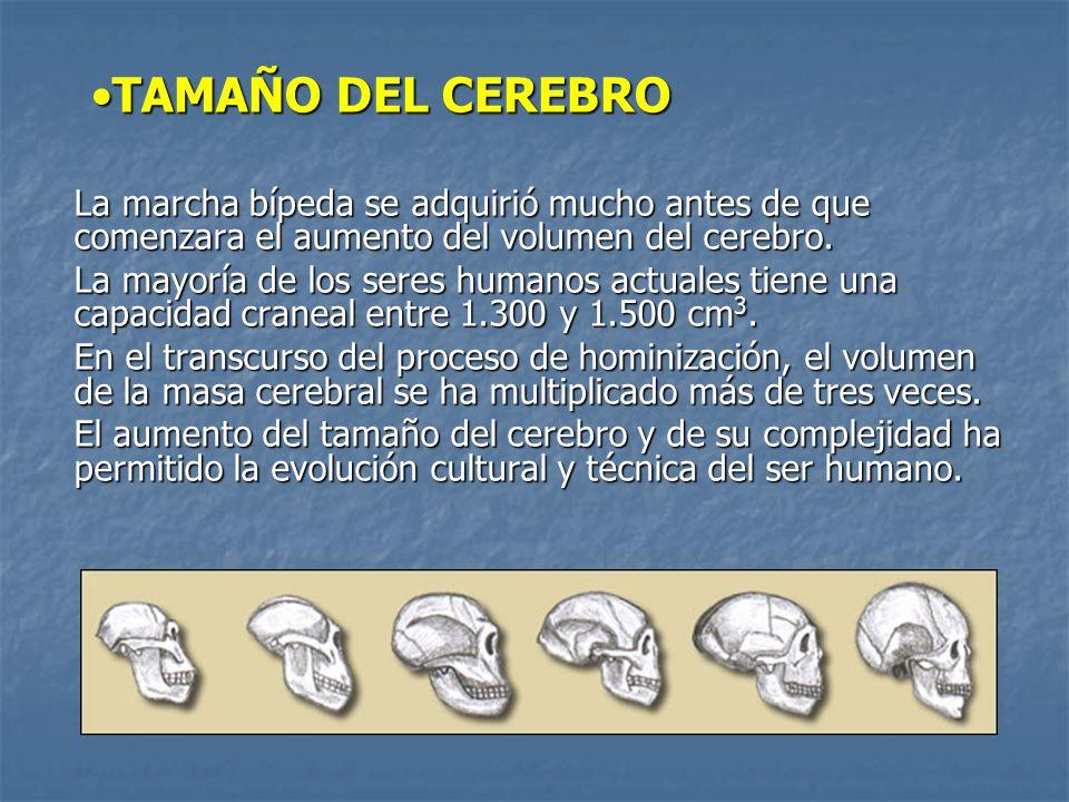 TAMAÑO DEL CEREBRO La marcha bípeda se adquirió mucho antes de que comenzara el aumento del volumen del cerebro.