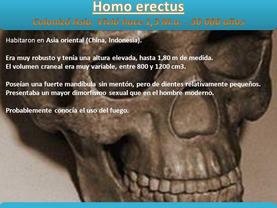 Colonizó Asía. Vivió hace 1,3 M.a. - 50 000 años