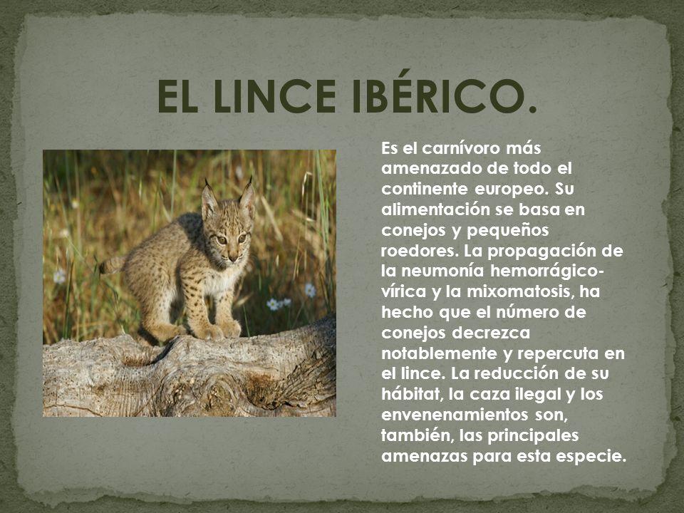 EL LINCE IBÉRICO.