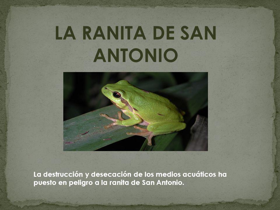 LA RANITA DE SAN ANTONIO