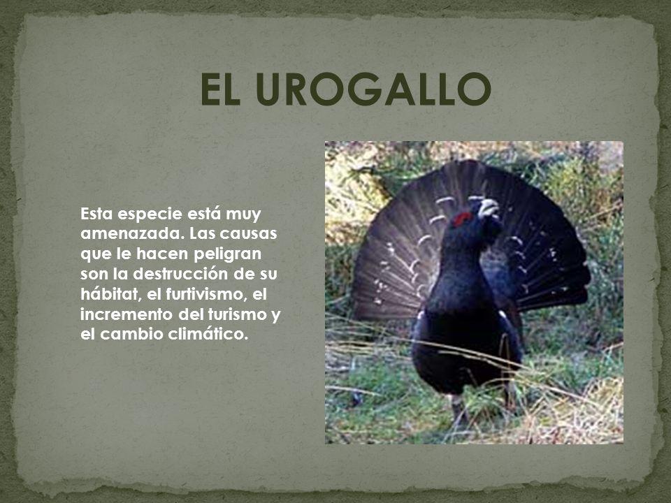 EL UROGALLO
