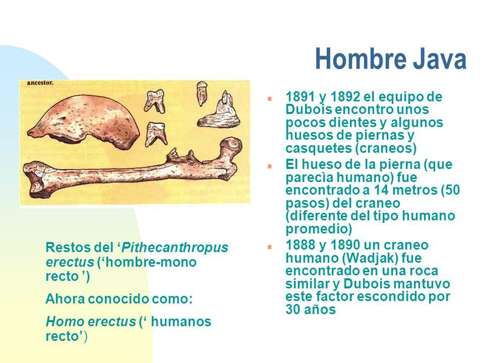 Hombre Java 1891 y 1892 el equipo de Dubois encontro unos pocos dientes y algunos huesos de piernas y casquetes (craneos)