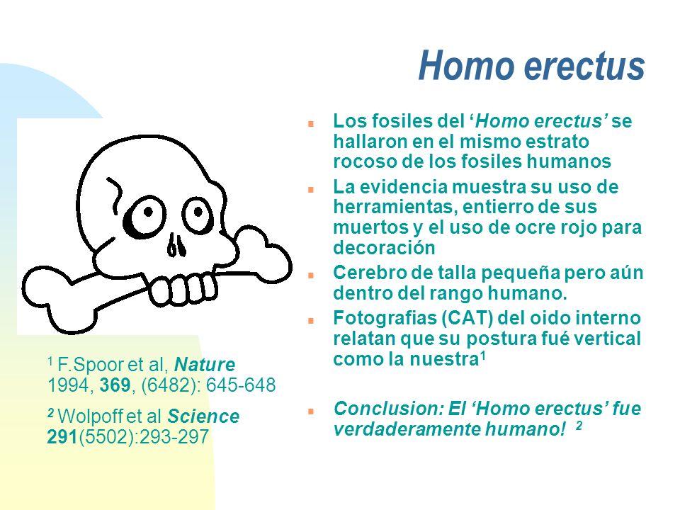 Homo erectus Los fosiles del 'Homo erectus' se hallaron en el mismo estrato rocoso de los fosiles humanos.