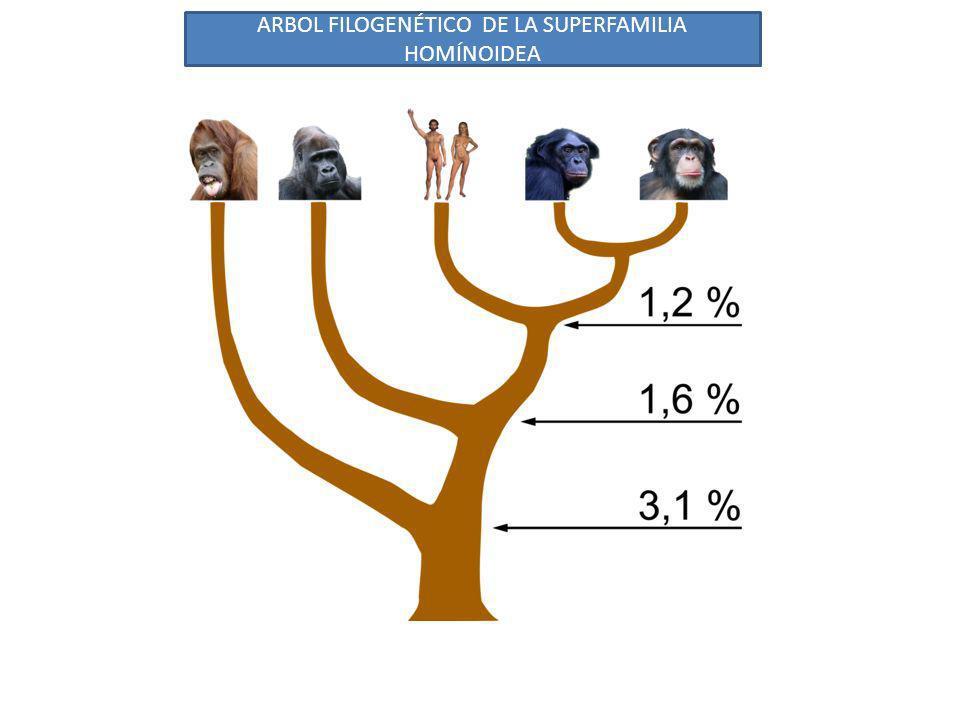 ARBOL FILOGENÉTICO DE LA SUPERFAMILIA HOMÍNOIDEA